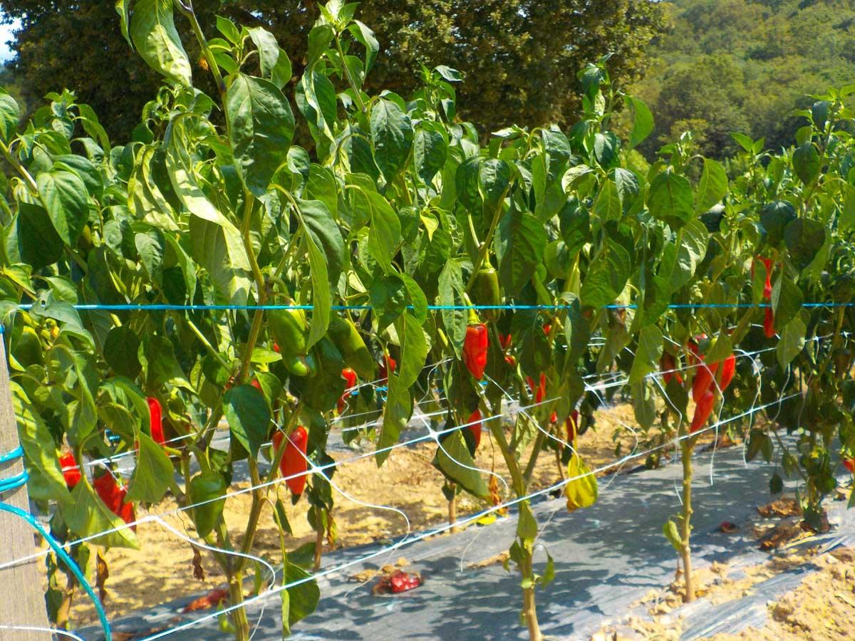 Que Planter En Octobre Sous Serre le piment d'espelette, semis, piquage et repiquage